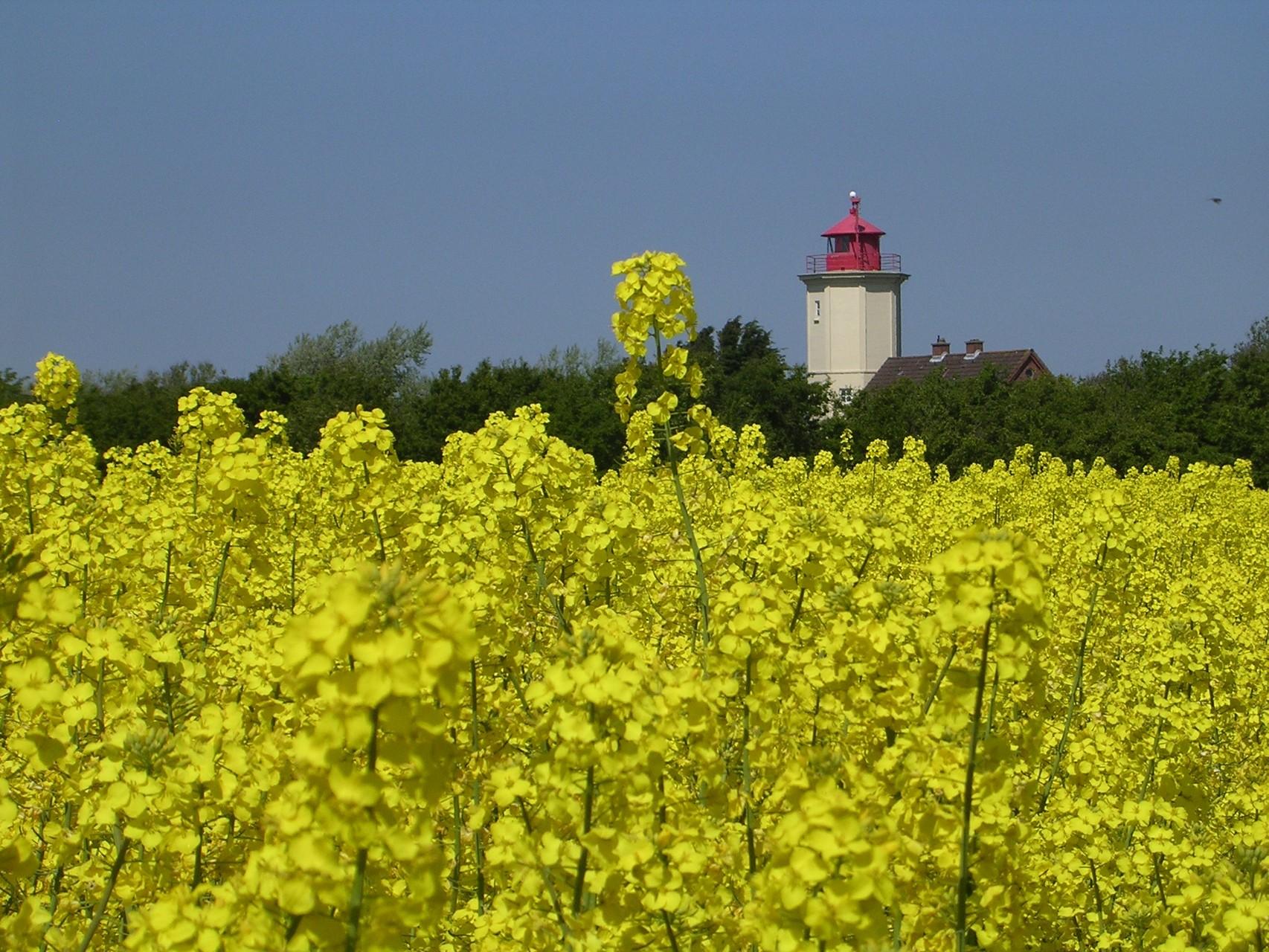 Leuchtturm im Rapsfeld