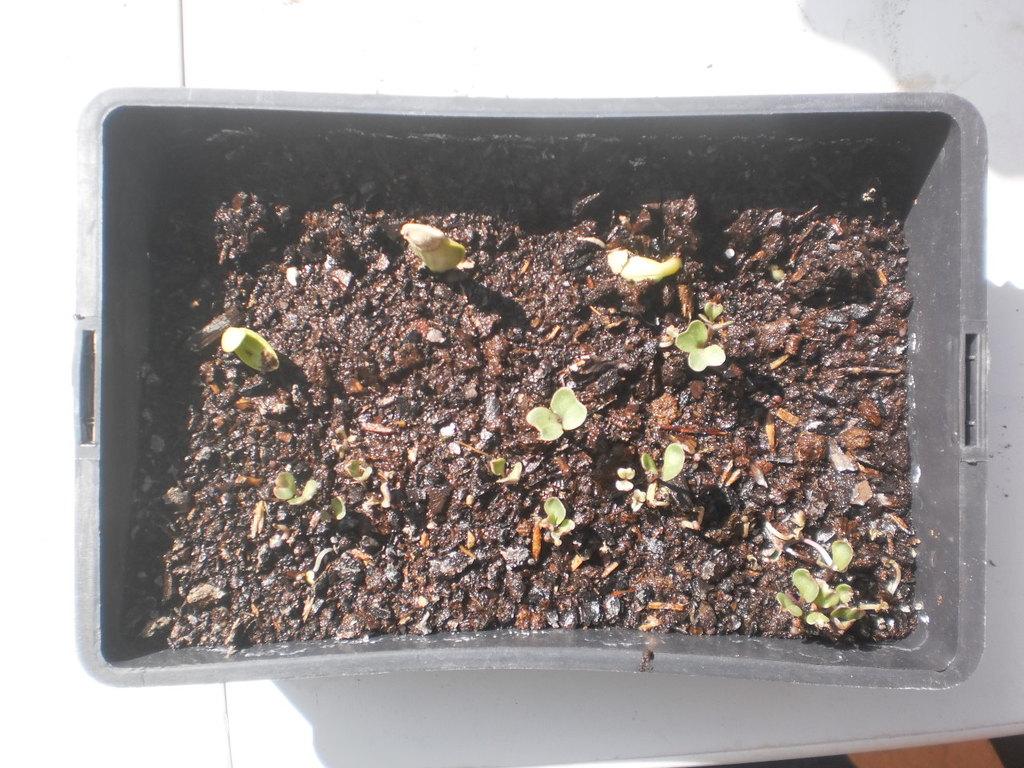 Blumenkohl und Zuchetti ( Chou-Fleur et Courchette )