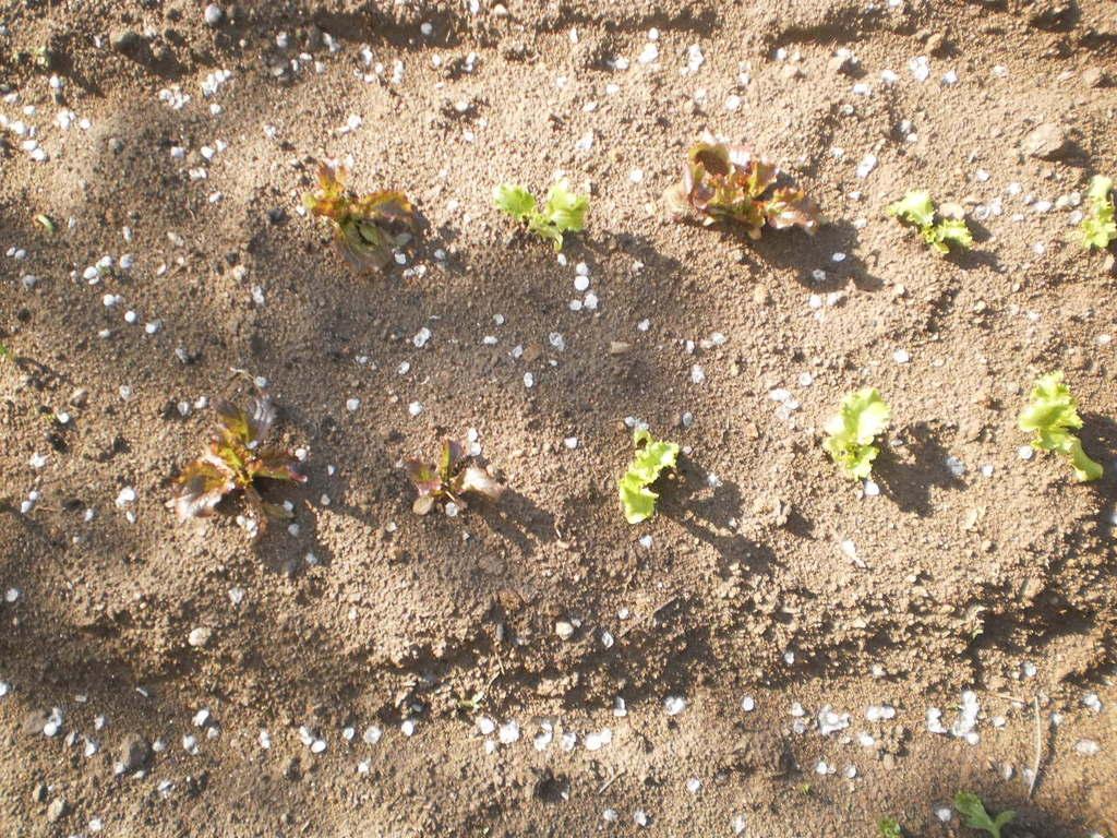 Salat ( Salade ) gesetzt am 2. April 2012