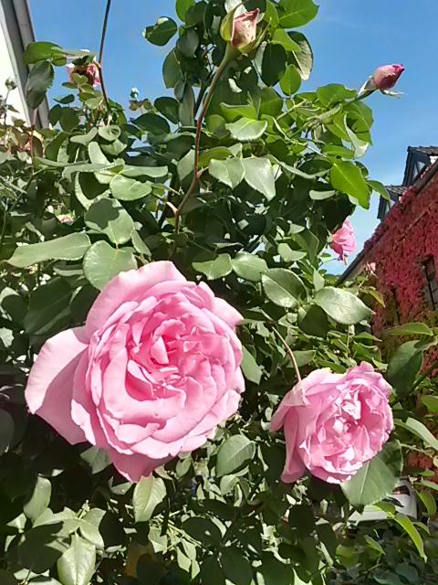 Letzte Rosenblüte zum Ende des Jahres