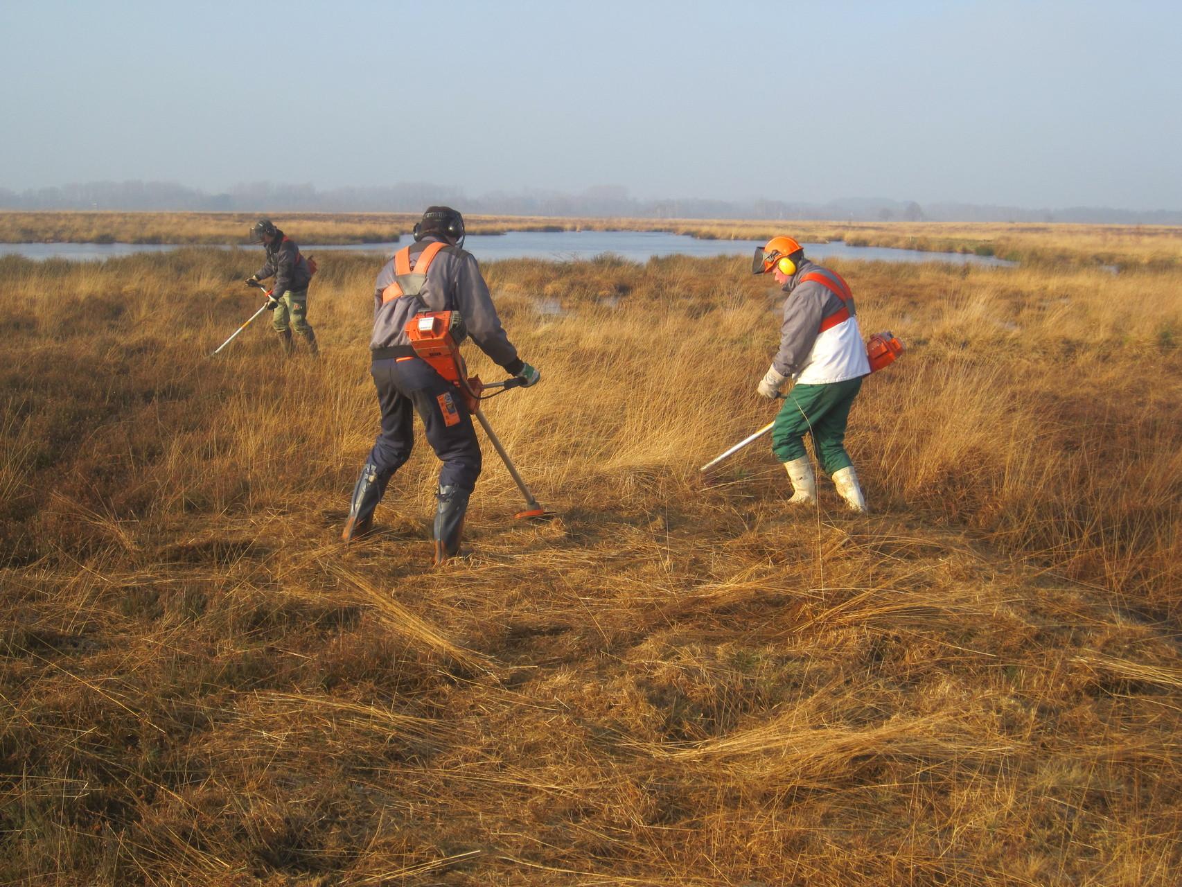 Freischneiden der Lungenenzianflächen durch NABU-Ehrenamtliche im Januar 2012