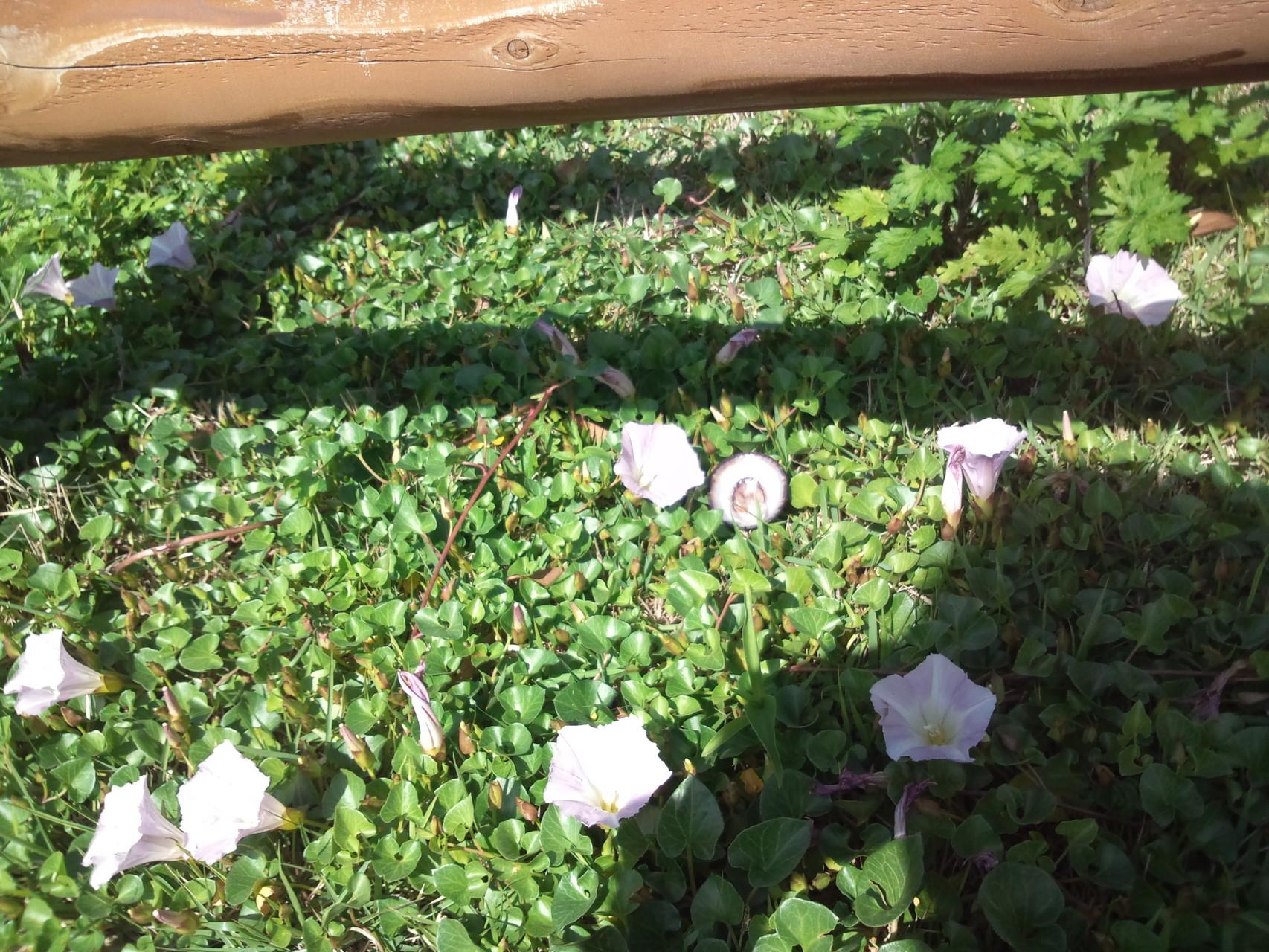 ハマガオ 午後も咲いていた。