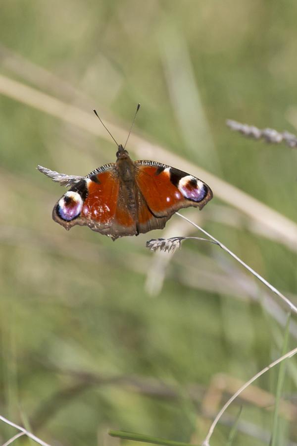 Ein Tagpfauenauge (Aglais io) / Foto: Rea Brinkhoff