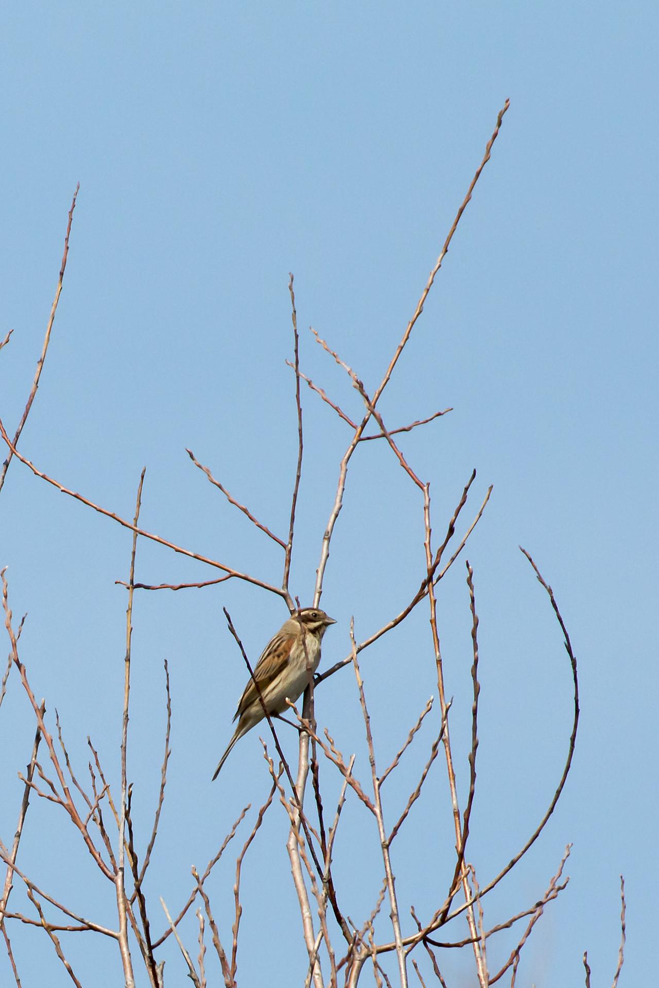 Eine weibliche Rohrammer (Emberiza schoeniclus) / Foto: Rea Brinkhoff