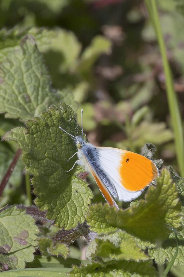Das Männchen eines Aurorafalters (Anthocharis cardamines) / Foto: Rea Brinkhoff