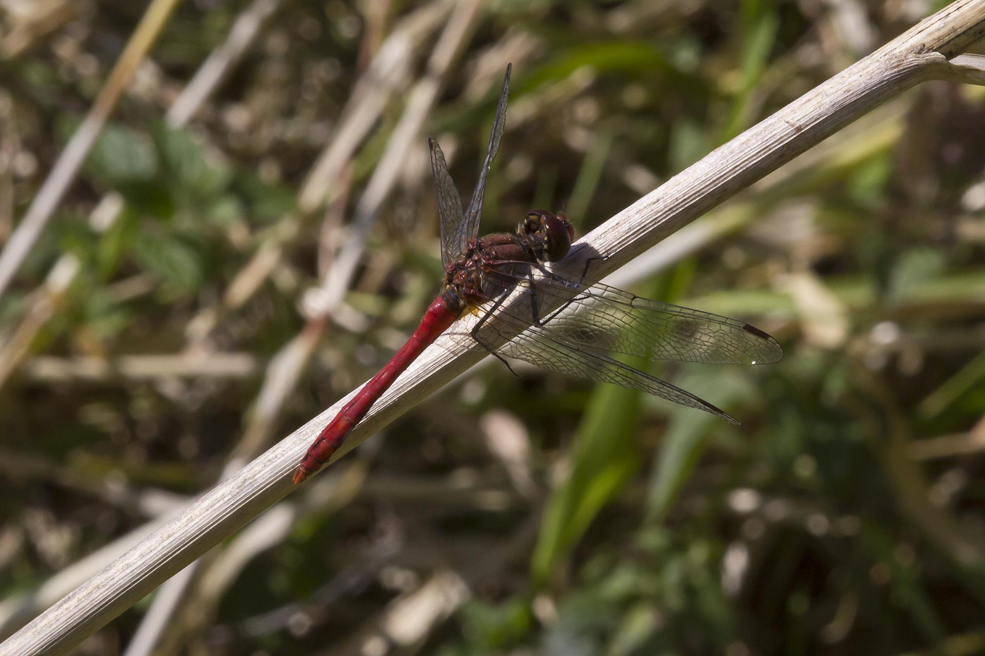 Ein Männchen der Blutroten Heidelibelle (Sympetrum sanguineum / Foto: Rea Brinkhoff