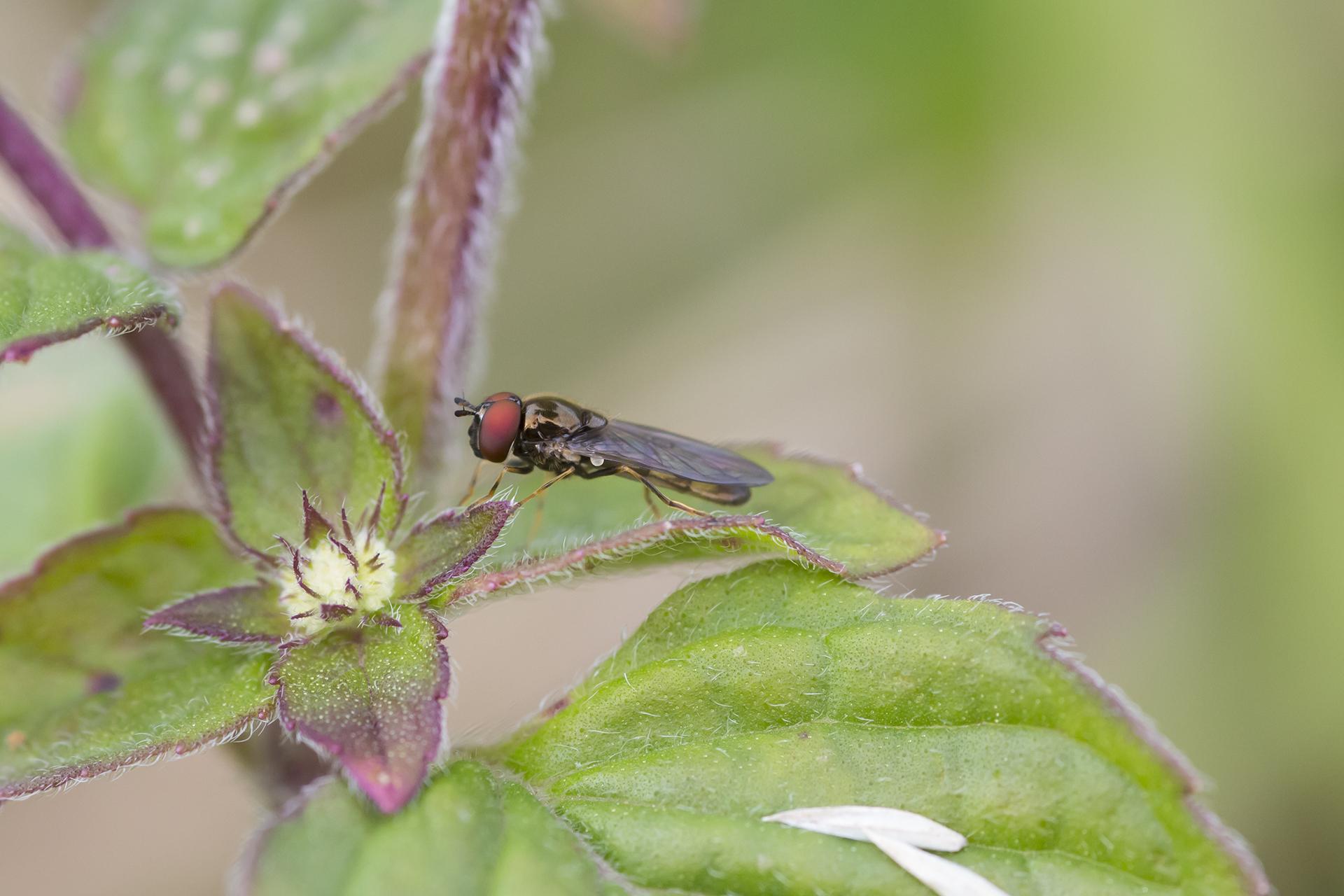 Eine Glänzende Schwarzkopf-Schwebfliege (Melanostoma mellinum) / Foto: Rea Brinkhoff