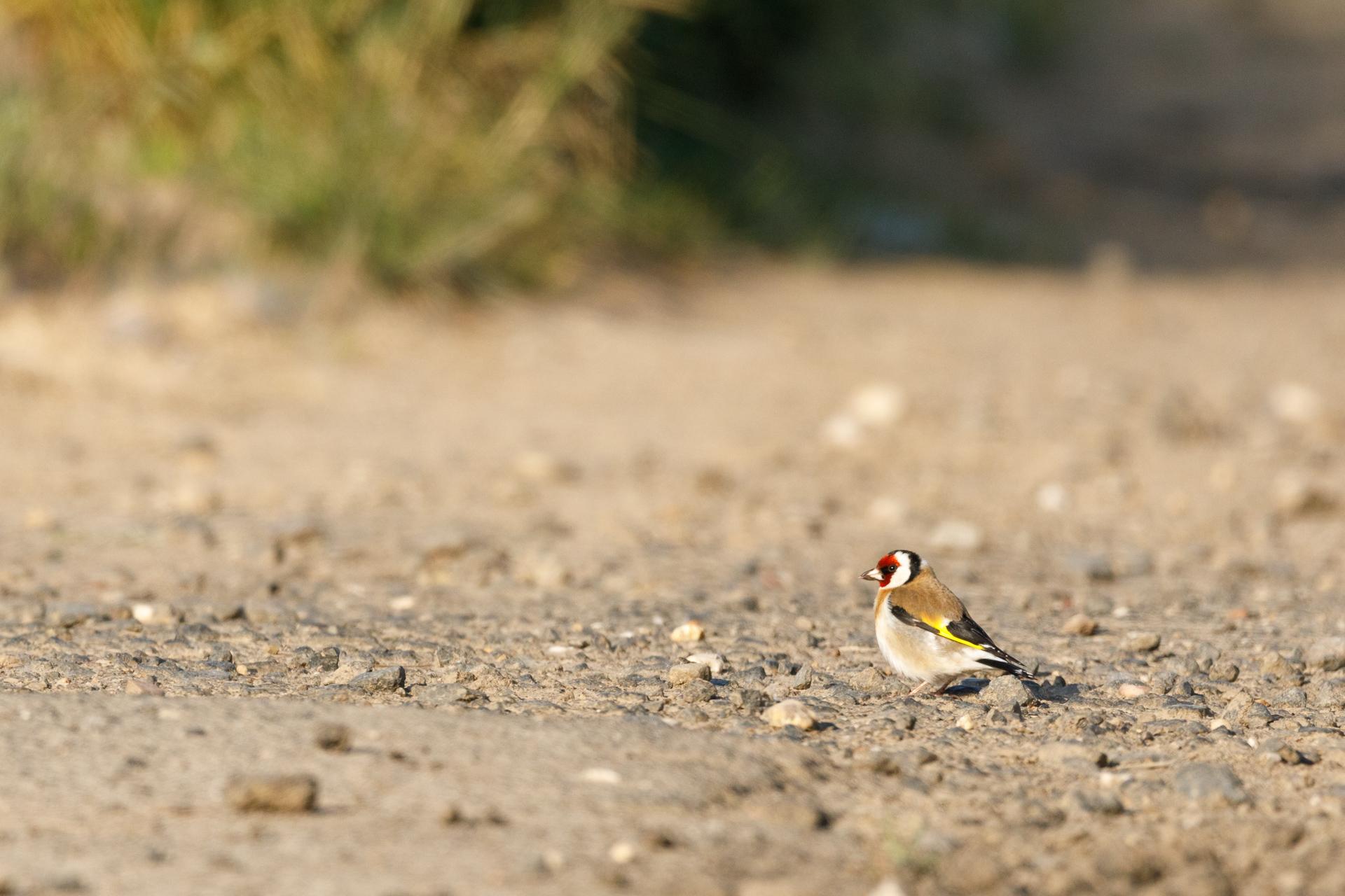 Ein Stieglitz (Carduelis carduelis) sucht auf dem Weg nach Nahrung / Foto: Andreas Sebald