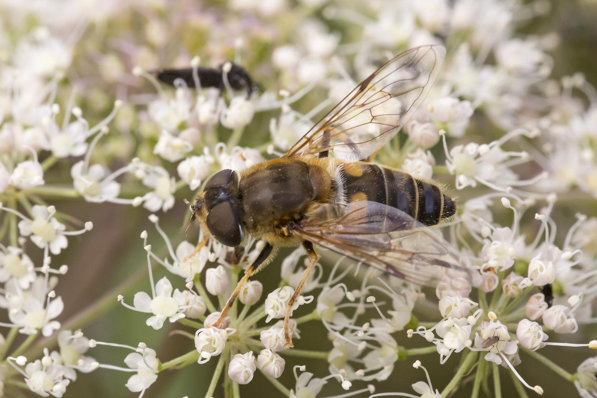 Eine Kleine Keilfleckschwebfliege (Eristalis arbustorum) / Foto: Rea Brinkhoff