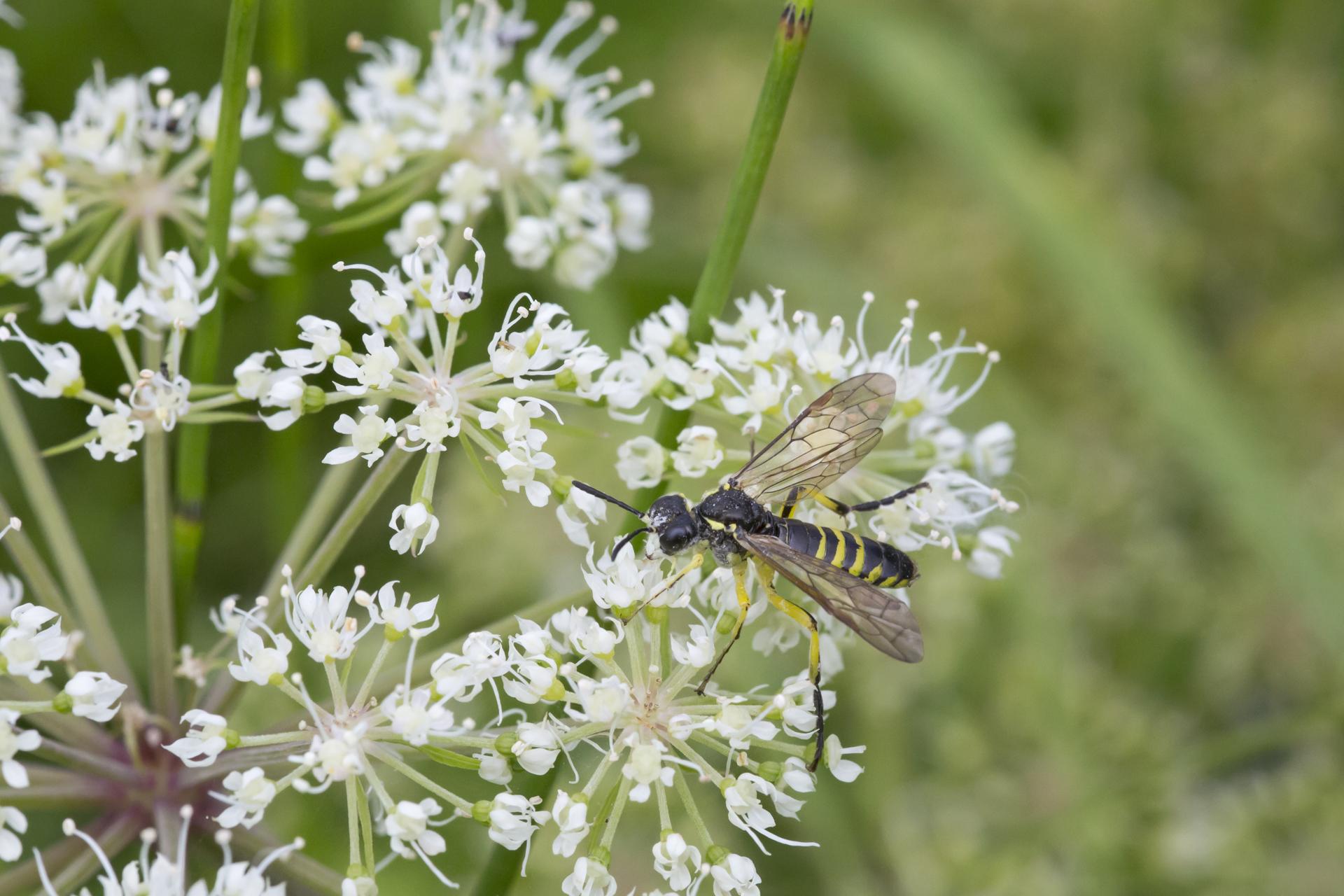 Eine Blattwespe, die vermutlich auf den Namen Tenthredo cf. brevicornis hört / Foto: Rea Brinkhoff