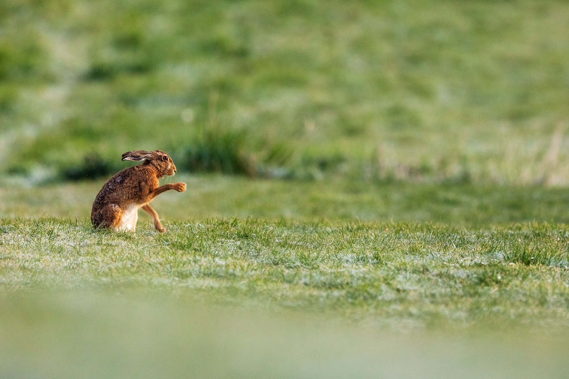 Ein Feldhase (Lepus europaeus) beim Schattenboxen / Foto: Andreas Sebald