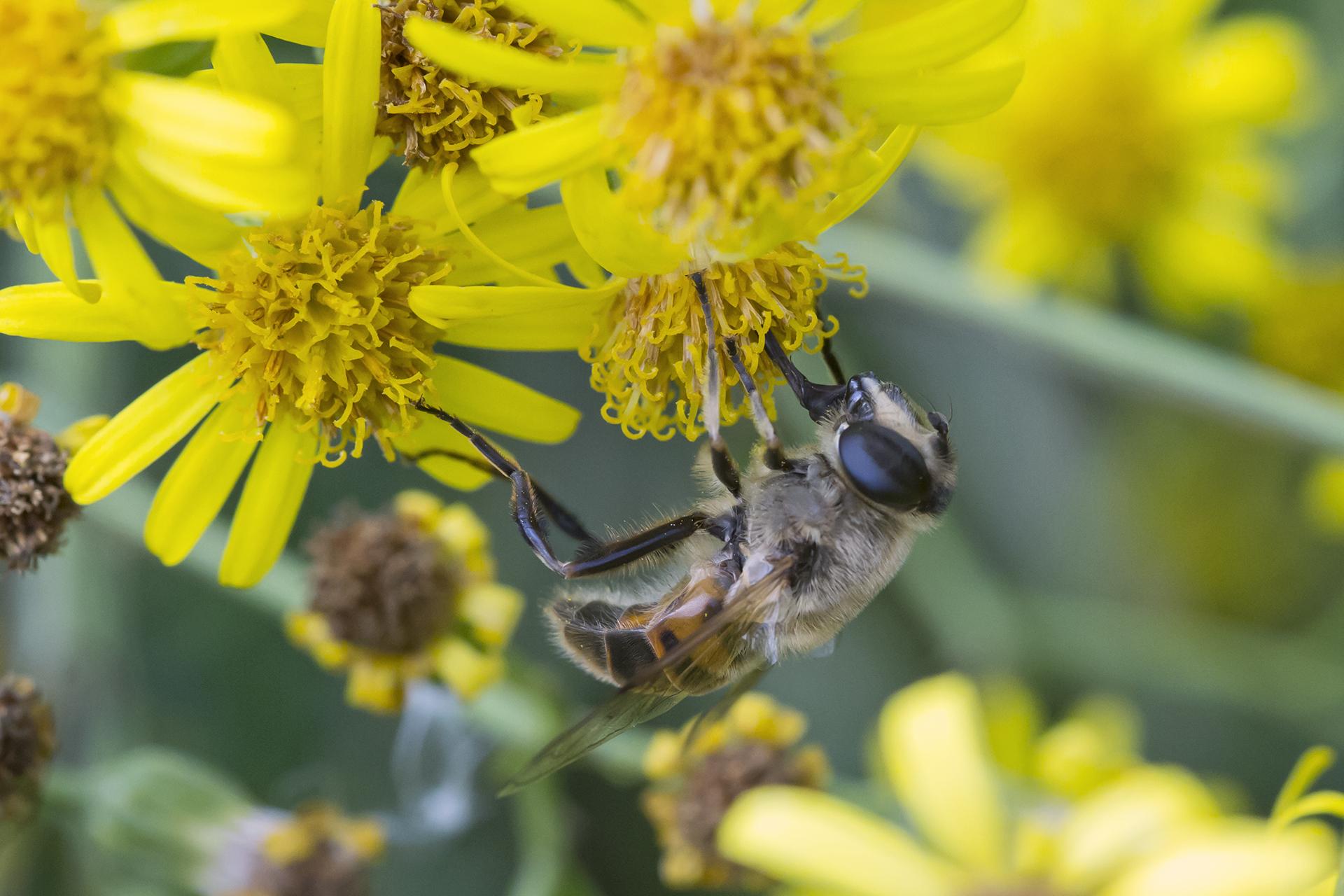 Eine Mistbiene (Eristalis tenax) / Foto: Rea Brinkhoff