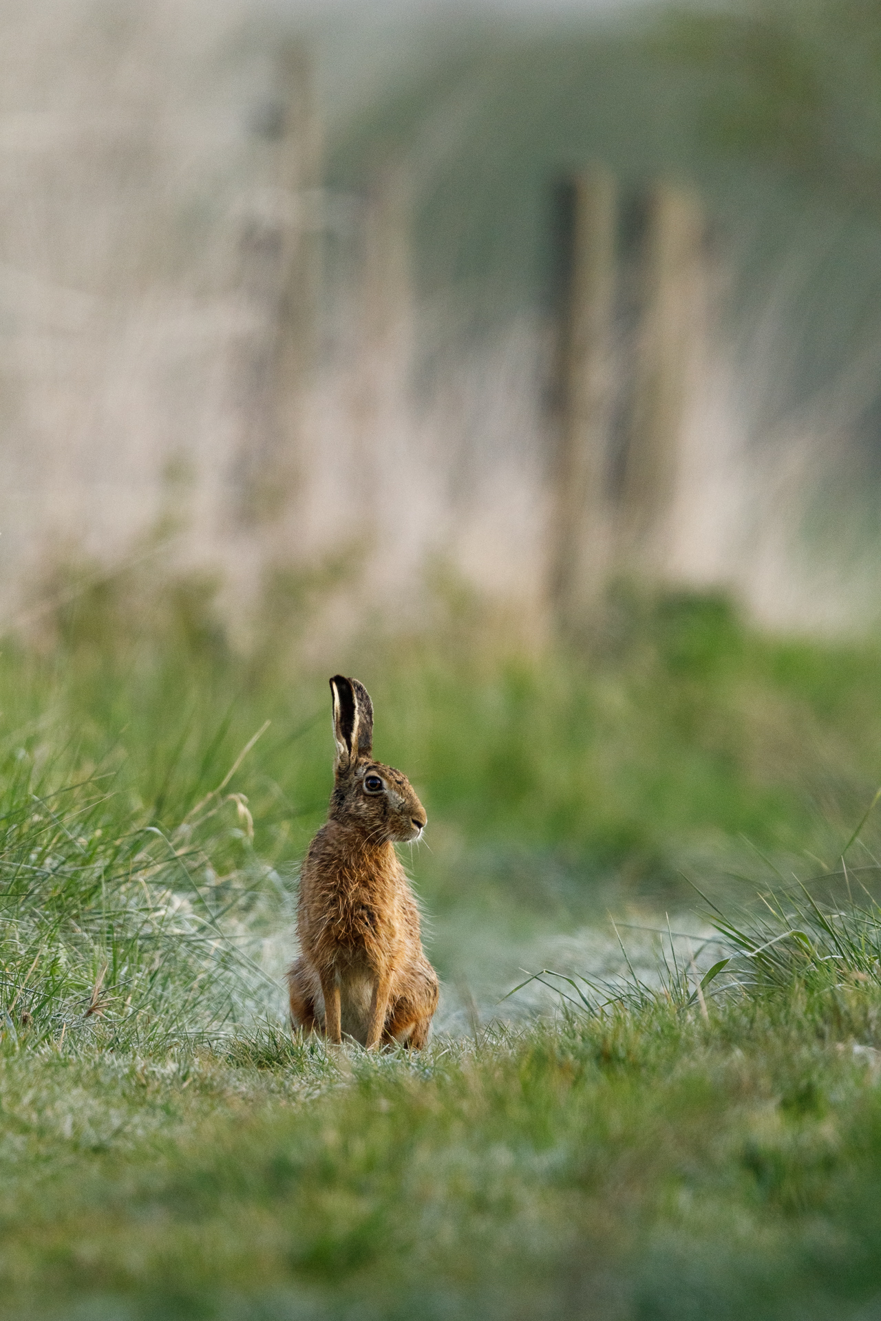 Ein Feldhase (Lepus europaeus) beobachtet seine Umgebung / Foto: Andreas Sebald