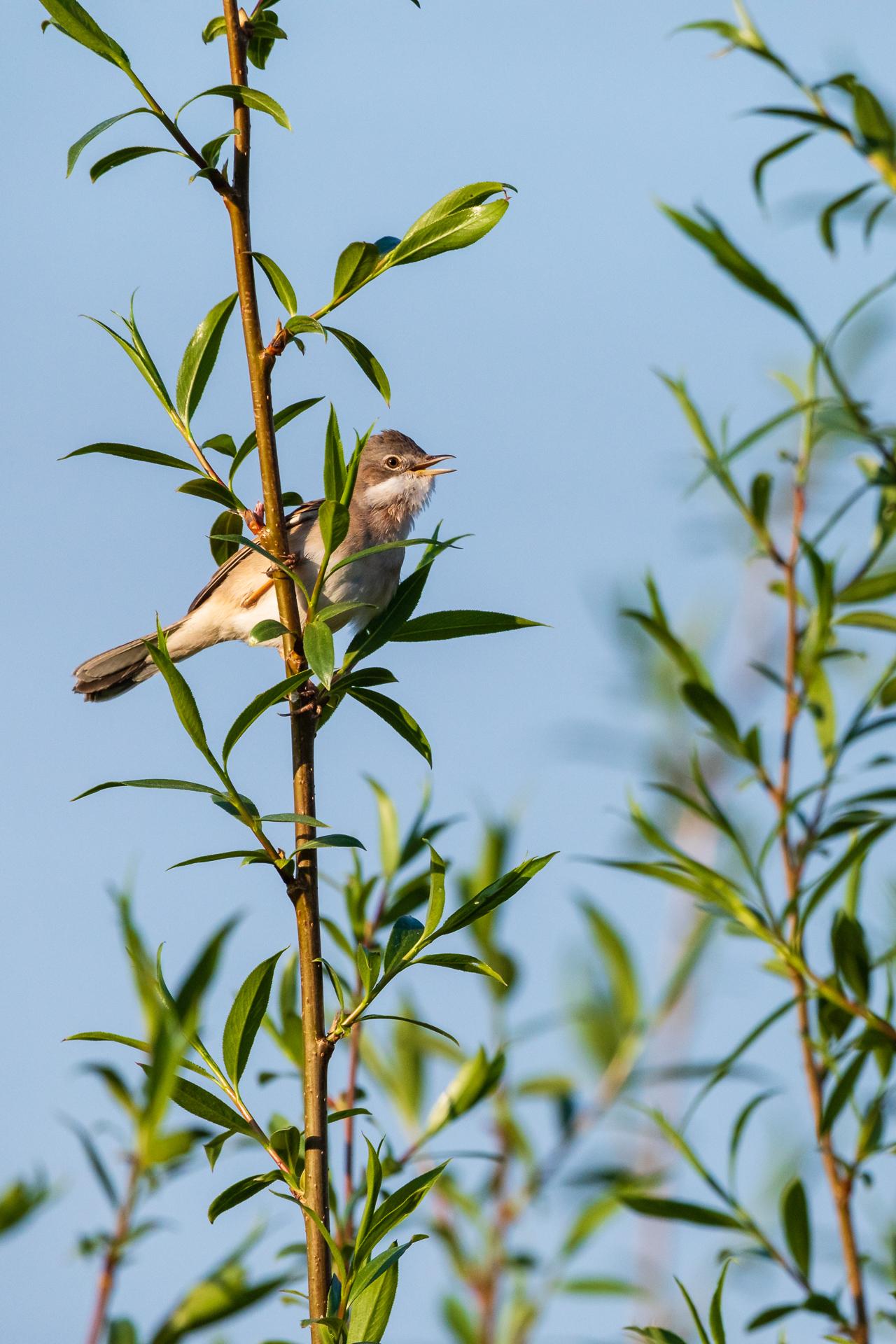 Diese Dorngrasmücke (Sylvia communis) singt in einer Weide / Foto: Andreas Sebald