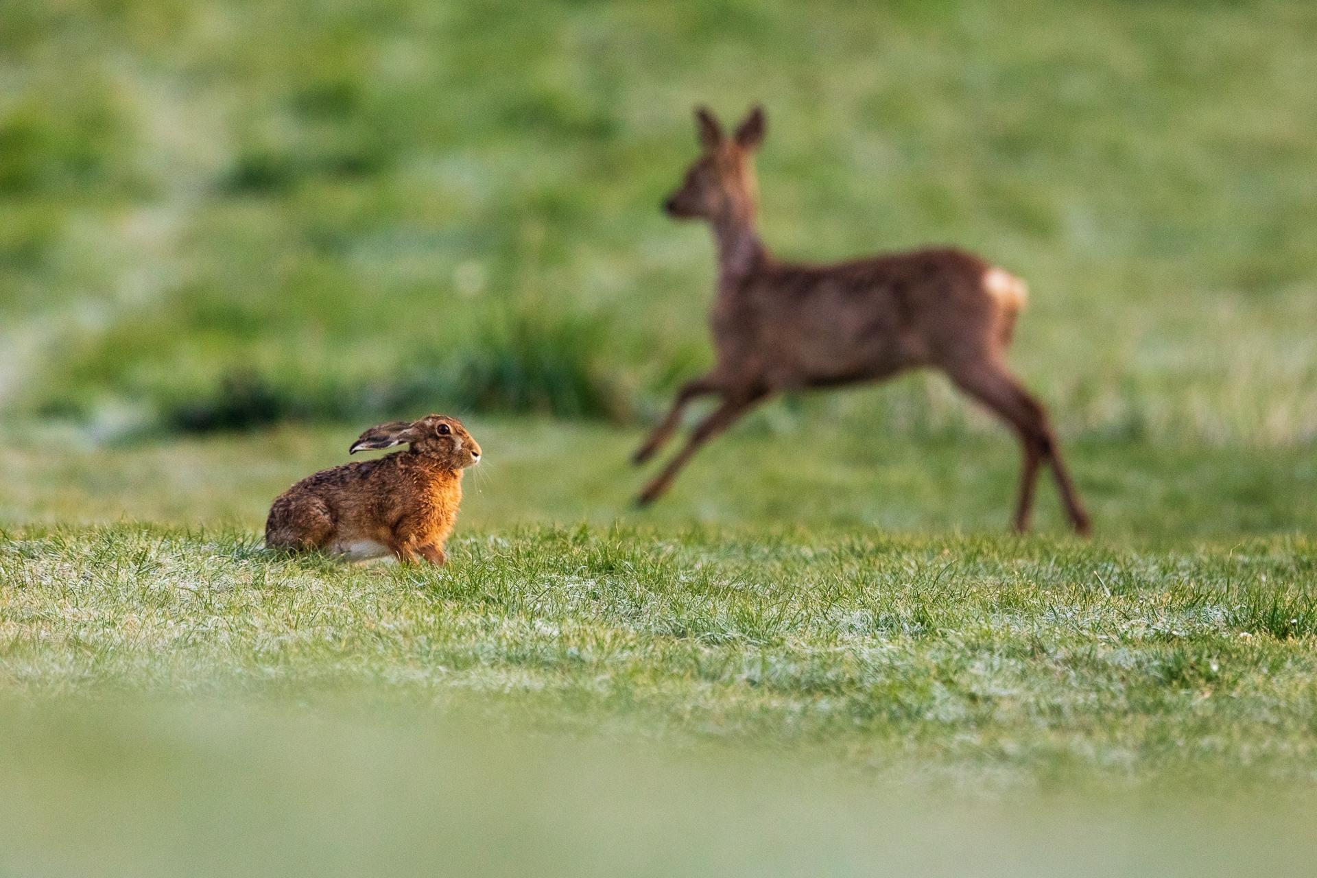 An diesem Feldhasen (Lepus europaeus) läuft gerade ein Reh vorbei / Foto: Andreas Sebald