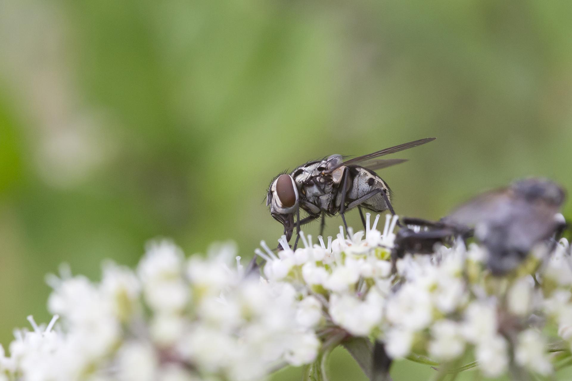 Ein Weibchen der Gefleckten Hausfliege (Graphomya maculata) / Foto: Rea Brinkhoff