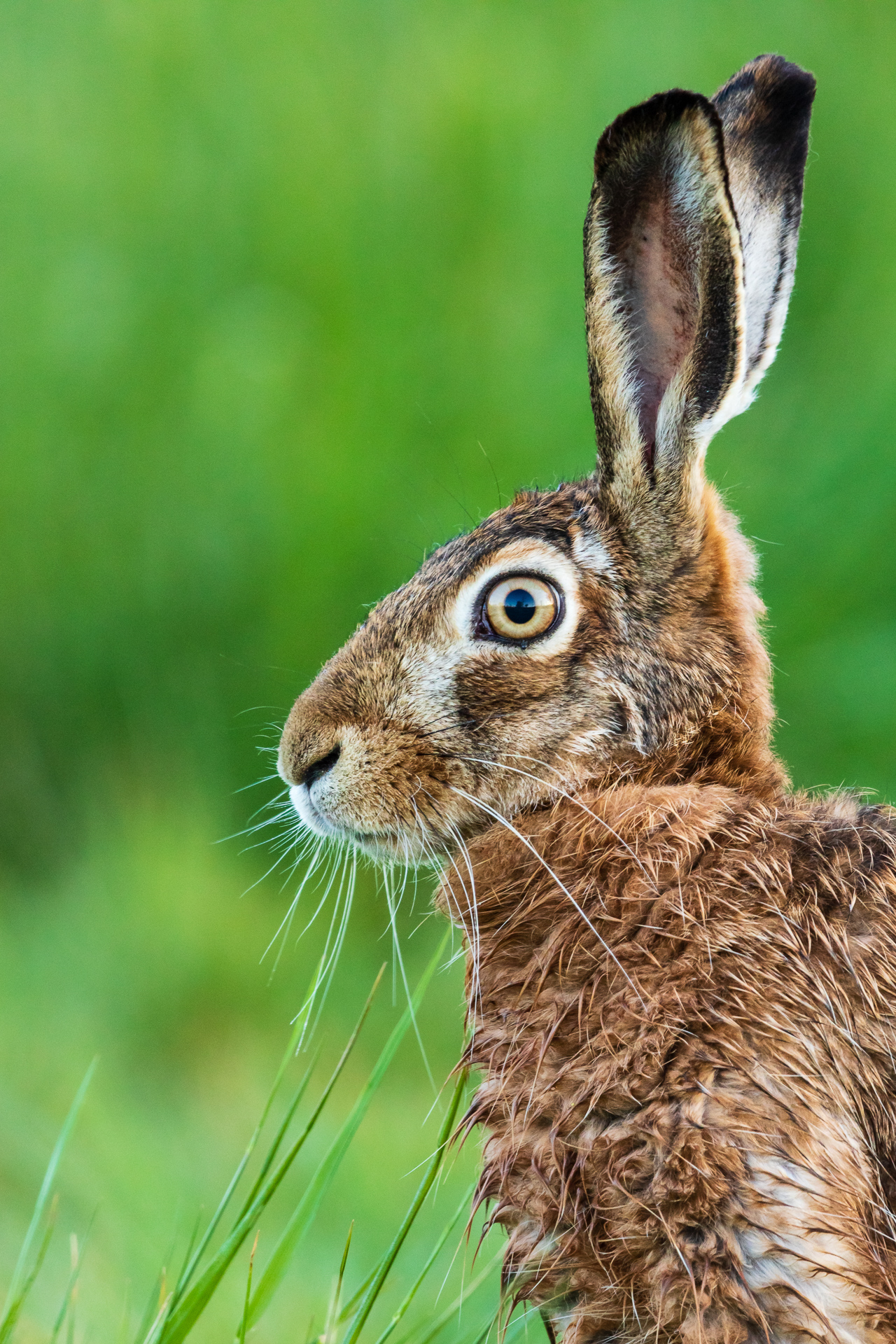 Porträt eines Feldhasen (Lepus europaeus) / Foto: Andreas Sebald