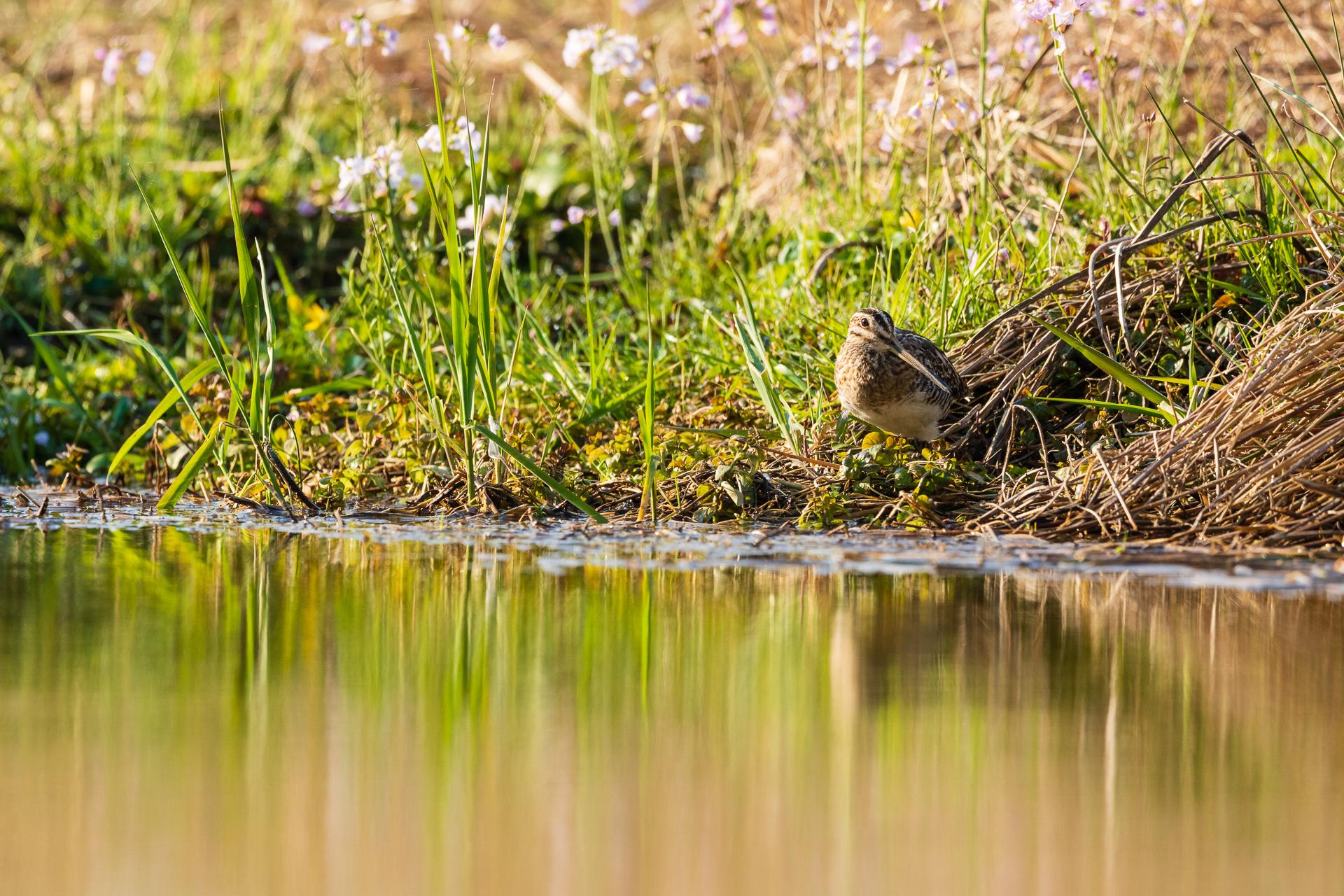 Eine Bekassine (Gallinago gallinago) im Uferbereich / Foto: Andreas Sebald