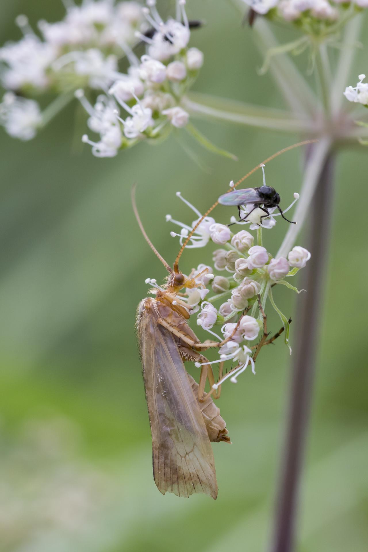 Eine Gemeine Köcherfliege (Limnephilus flavicornis) / Foto: Rea Brinkhoff