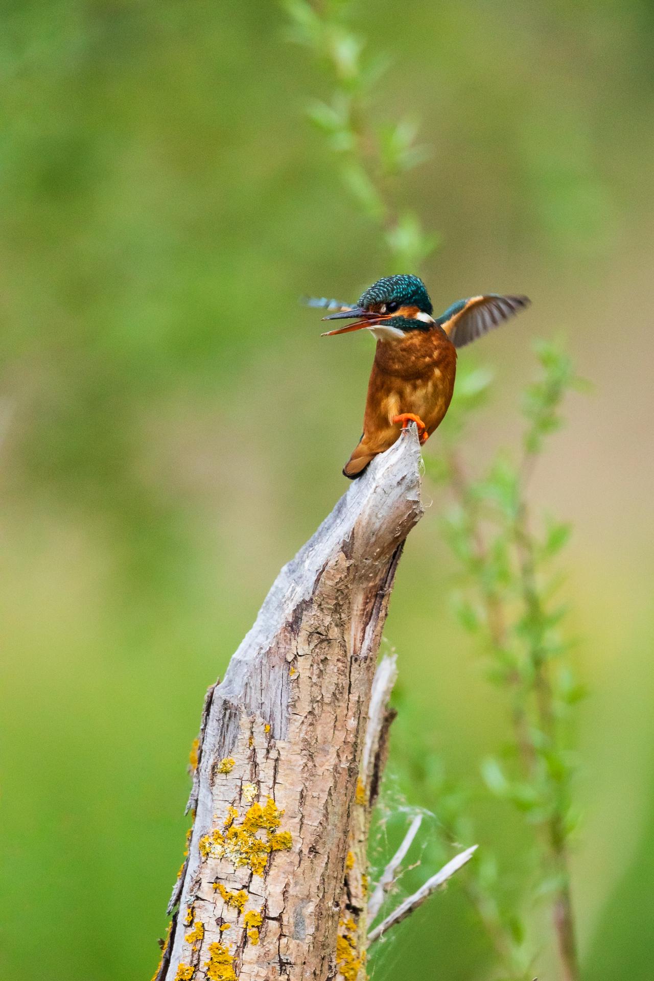 Beim weiblichen Eisvogel (Alcedo atthis) ist die Unterseite des Schnabels orange gefärbt / Foto: Andreas Sebald