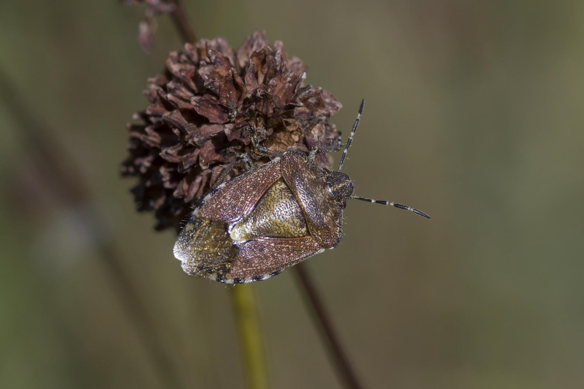 Eine Beerenwanze (Dolycoris baccarum) / Foto: Rea Brinkhoff