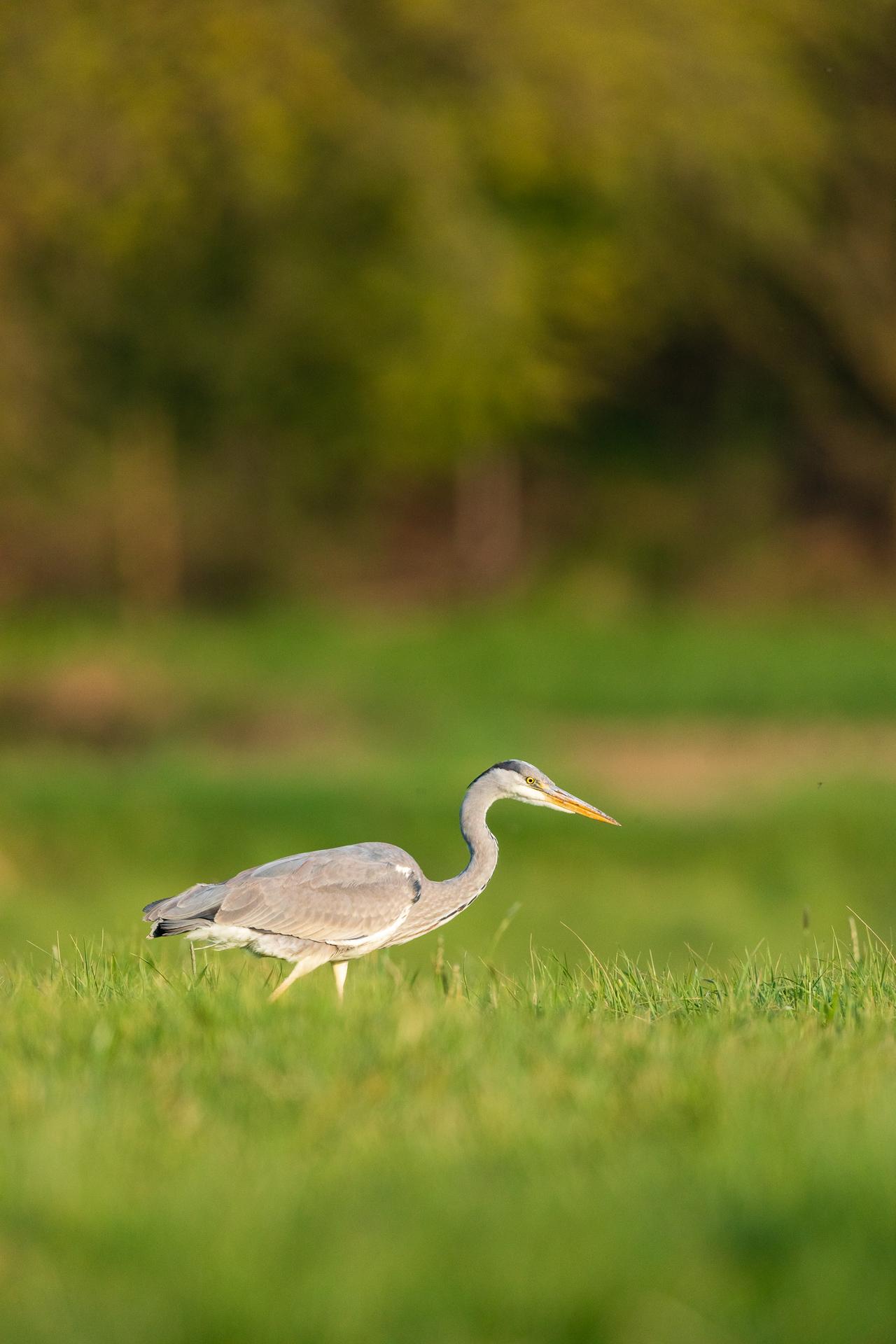 Ein Graureiher (Ardea cinerea) sucht in einem Feld nach Nahrung / Foto: Andreas Sebald