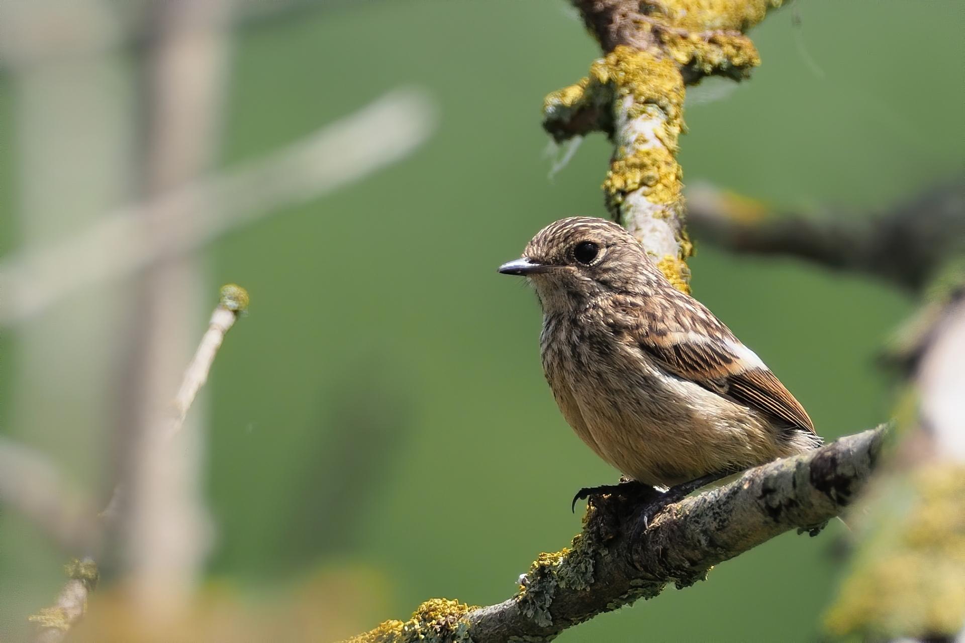Jungvogel eines Schwarzkehlchens (Saxicola rubicola) / Foto: Stefan Blank