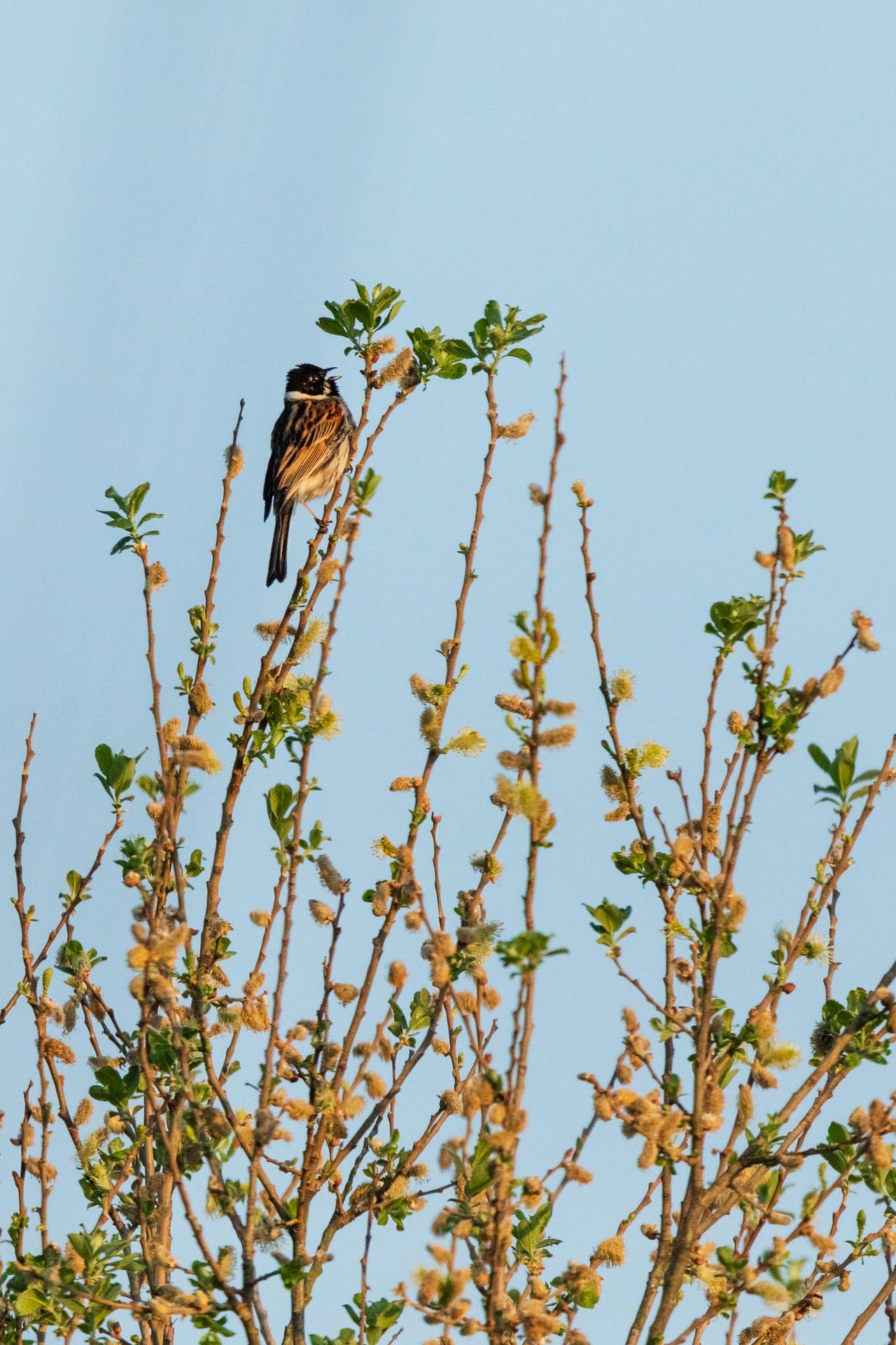 Eine männliche Rohrammer (Emberiza schoeniclus) singt in einer Weide/ Foto: Andreas Sebald