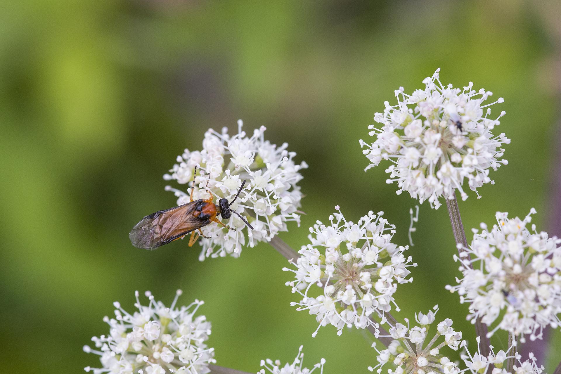 Eine Rübsen-Blattwespe (Athalia rosae) / Foto: Rea Brinkhoff