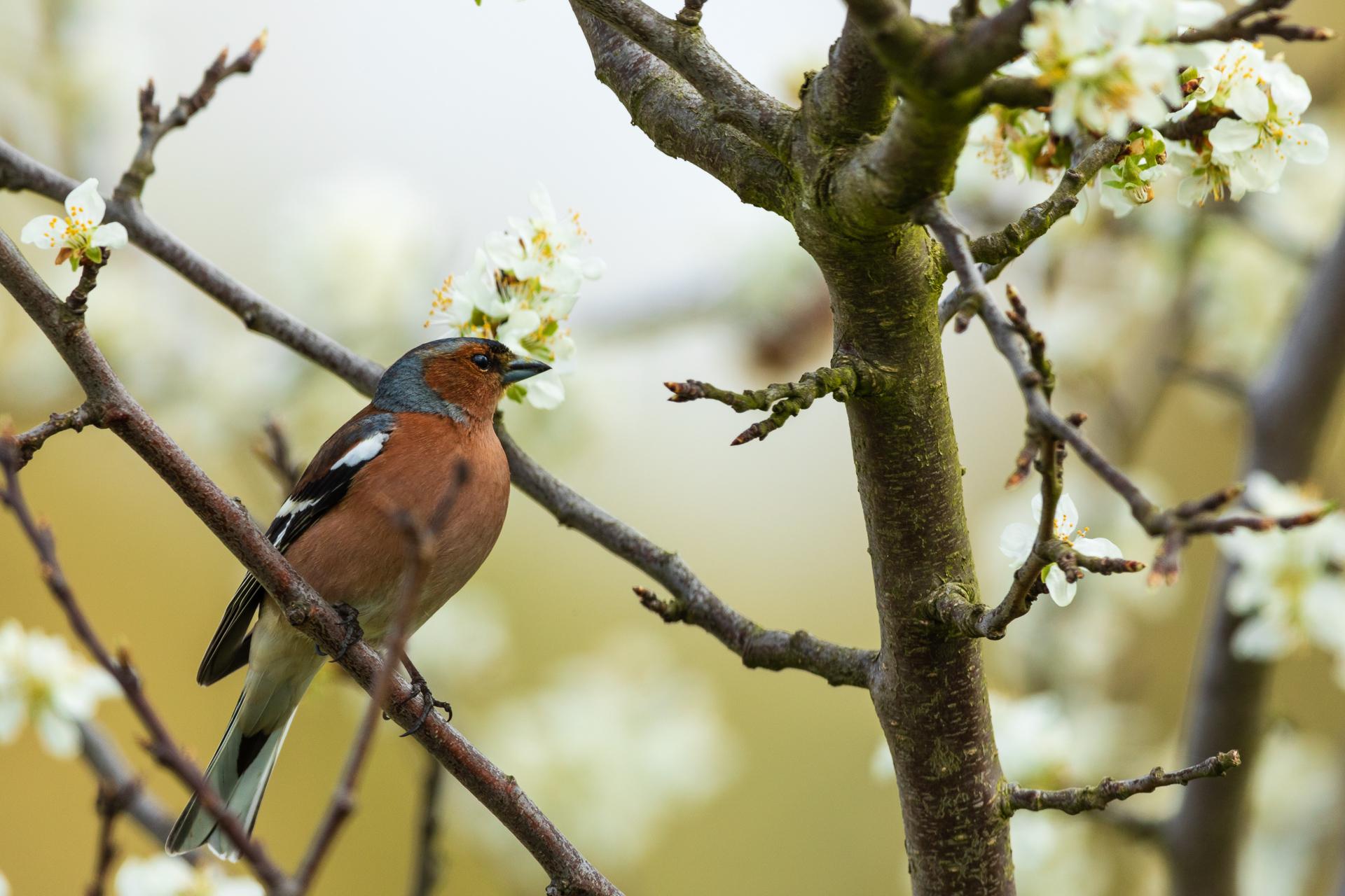 Ein männlicher Buchfink (Fringilla coelebs) im Prachtkleid / Foto: Andreas Sebald