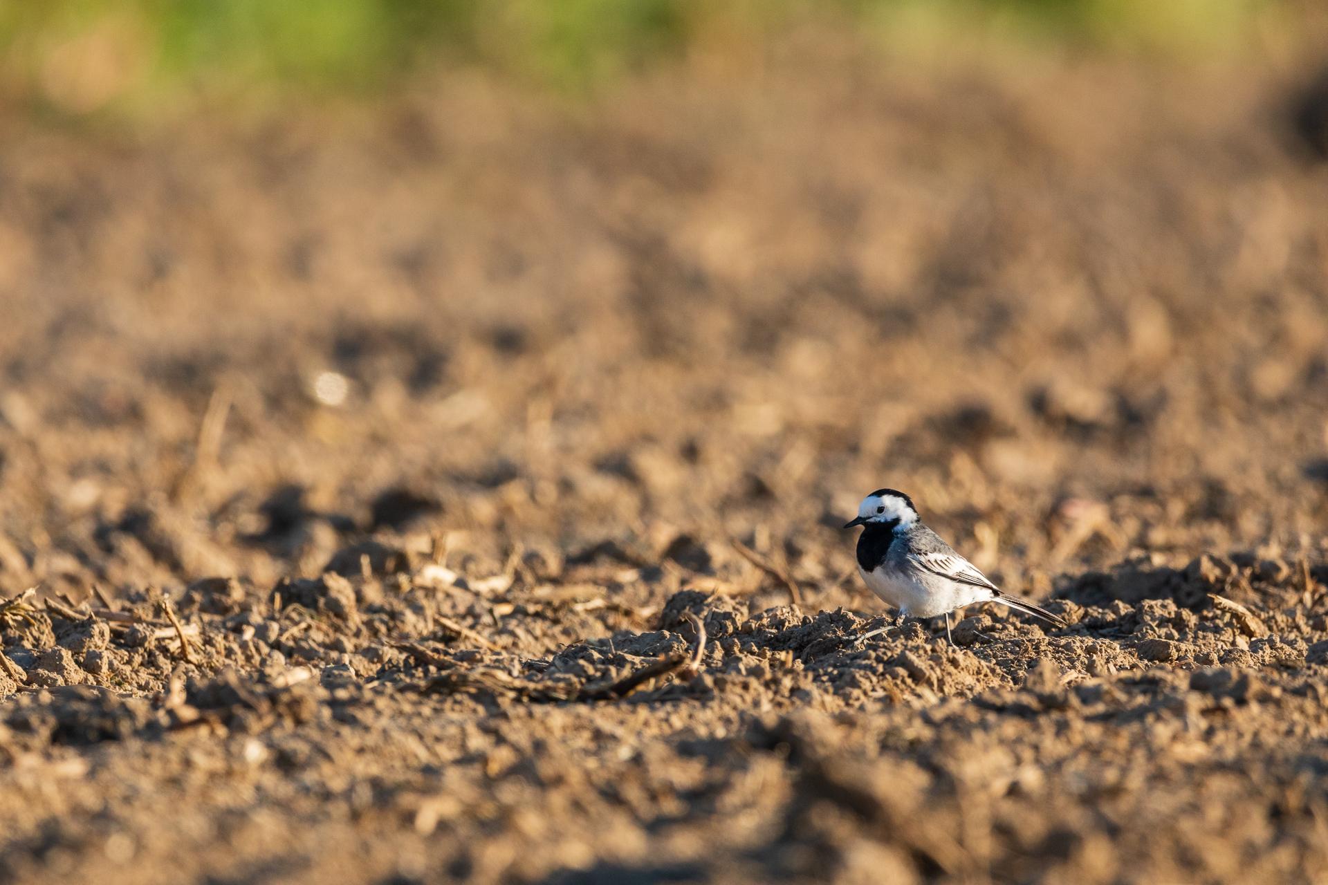Eine Bachstelze (Motacilla alba) sucht auf den angrenzenden Äckern nach Nahrung / Foto: Andreas Sebald