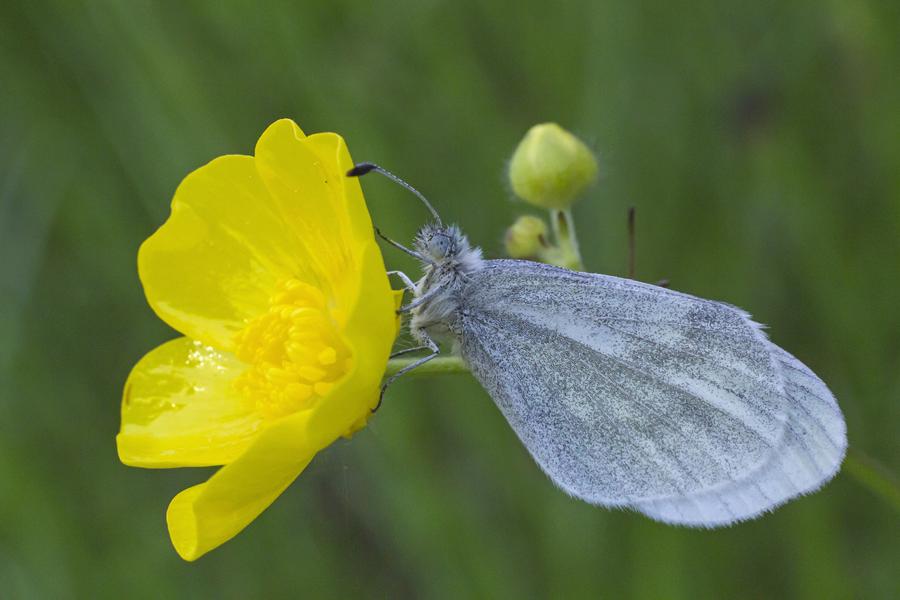 Ein Leguminosen-Weißling (Leptidea sinapis) / Foto: Rea Brinkhoff