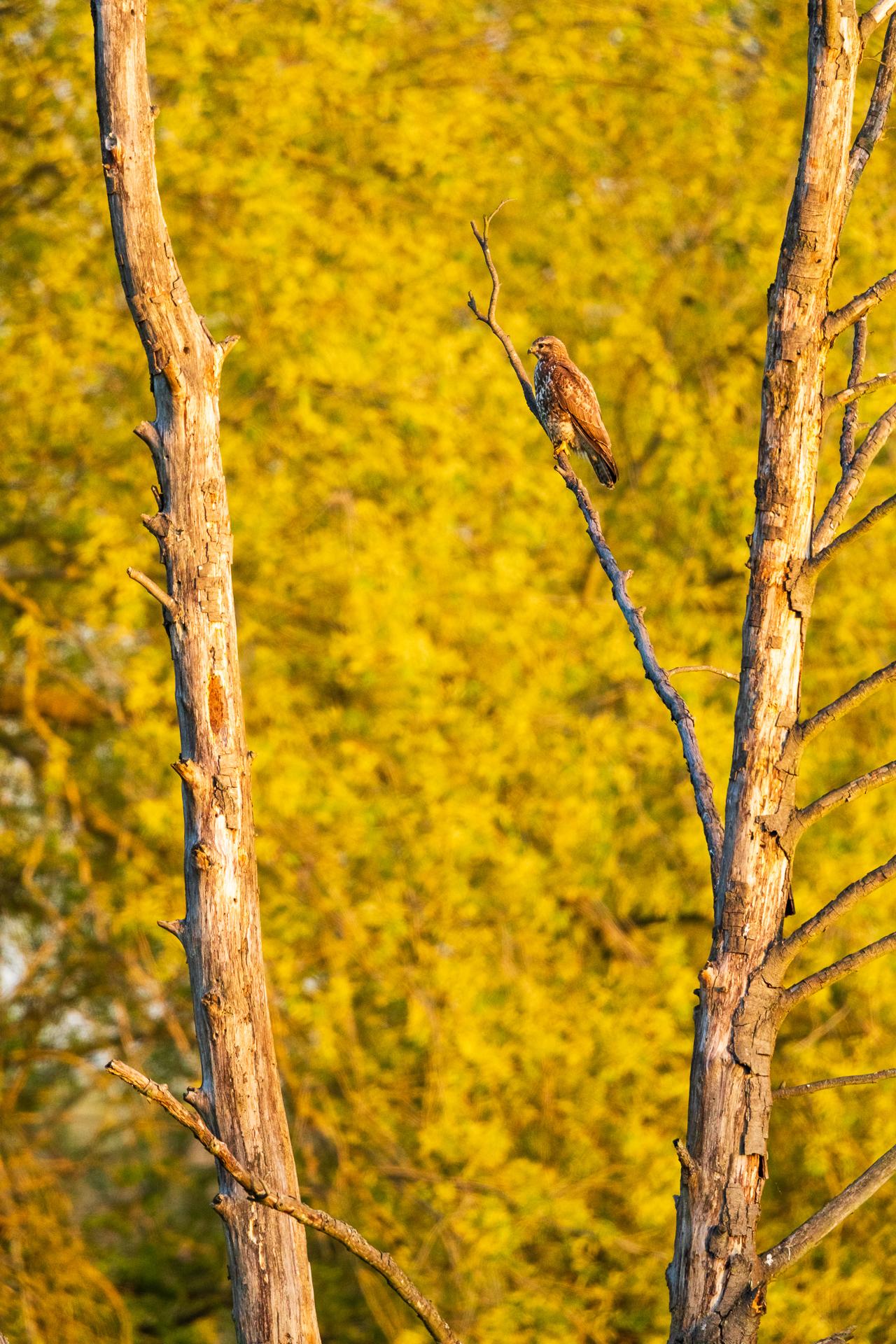 Ein Mäusebussard (Buteo buteo) sitzt auf einem abgestorbenen Baum / Foto: Andreas Sebald