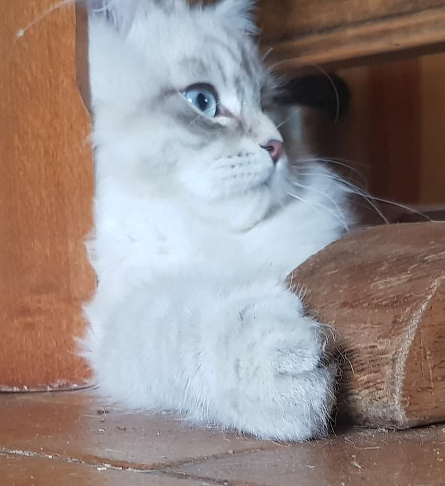 chaton neva Masquerade