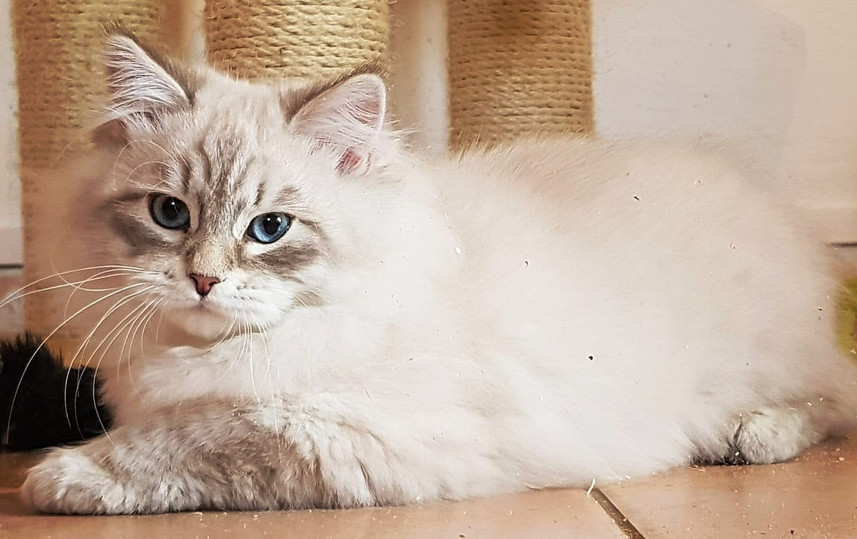 chat sibérien blue