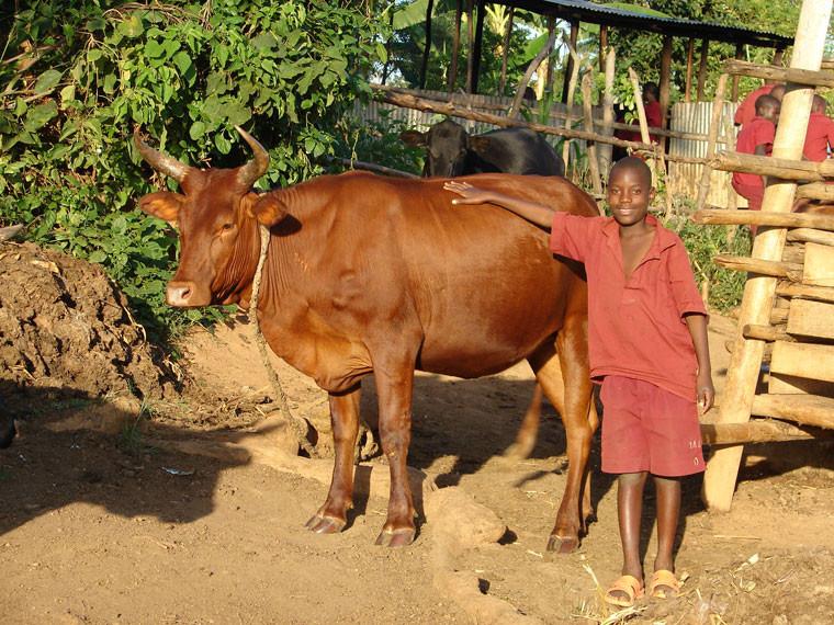 Diese Kuh musste sich selbst opfern, um einen kulinarischen Beitrag für die Feierlichkeiten zu leisten, denn...