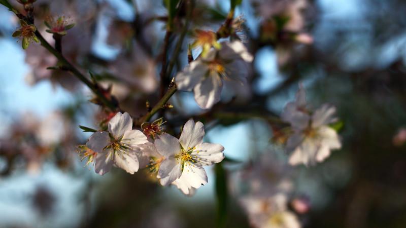 2014 03_mandelblüten auf mallorca