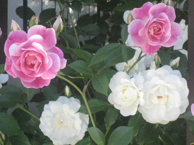 白とピンクのアイスバーグ