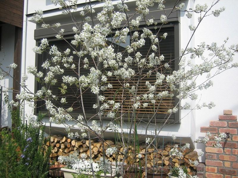 ジューンベリーの花と薪