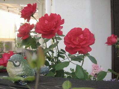 鮮やかな赤いバラ