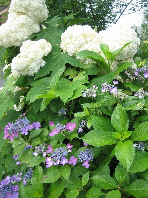 ご近所に人気の紫陽花