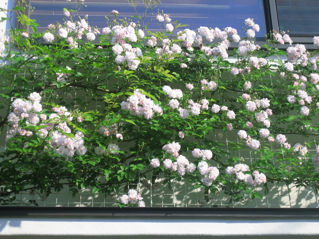 群れ咲くポールズヒマラヤンムスク