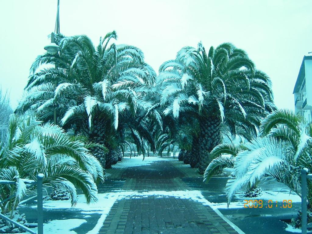 Les palmiers sous la neige