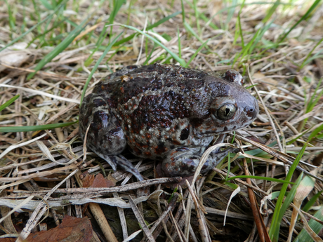 Knoblauchkröte (Foto: Hans Prün)
