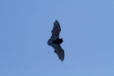 Fliegende Zwergfledermaus (Bild: A. Hartl)