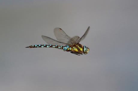 Blaugrüne Moasikjungfer (Foto: Edmund Abel)