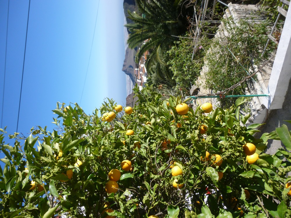 Un oranger et la mer au loin