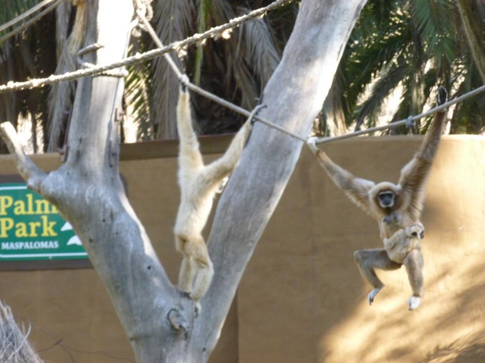 nos cousins gibbons (maman se balade avec son petit)
