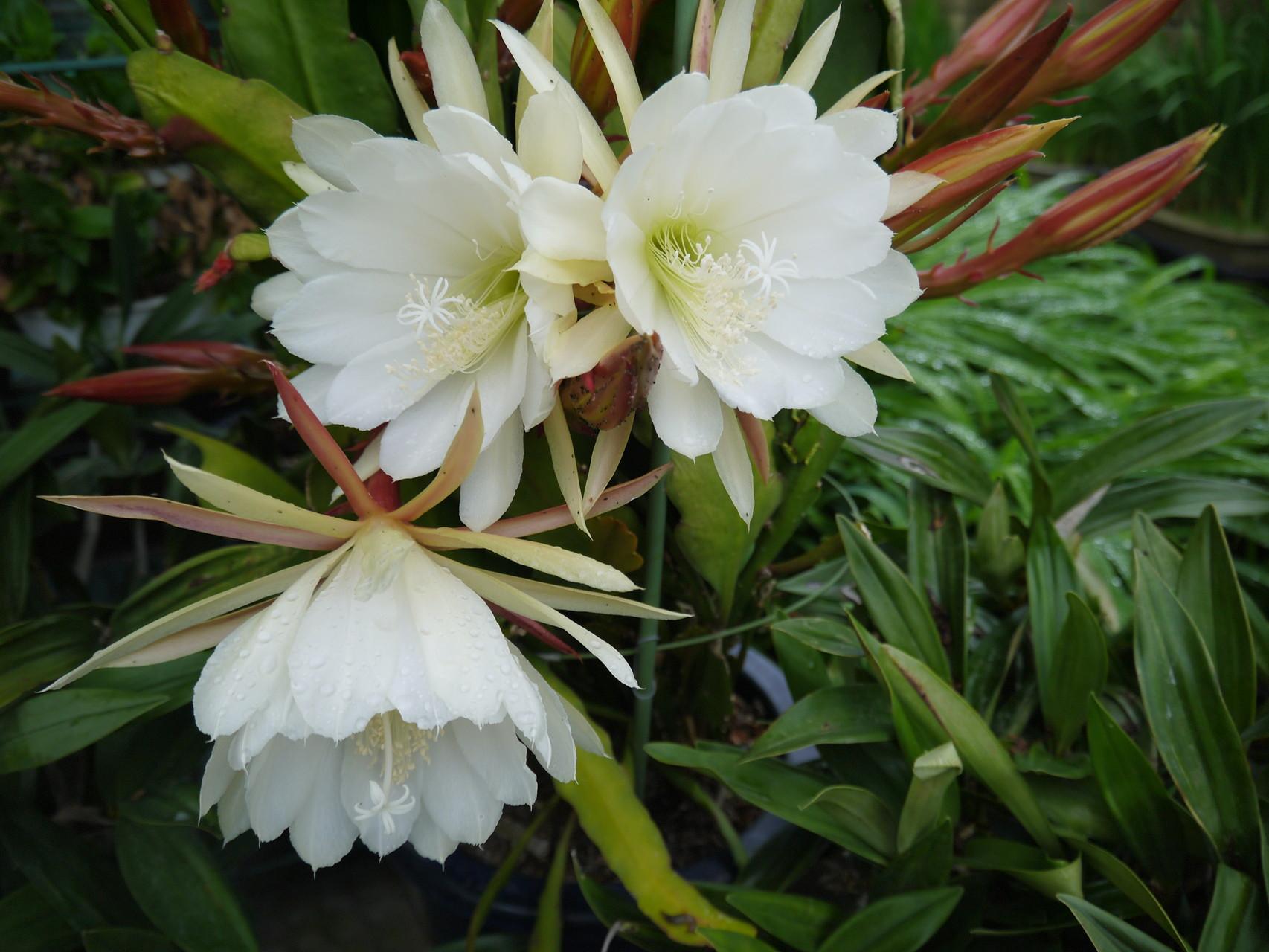 今年もクジャクサボテンの白が咲き始めました。