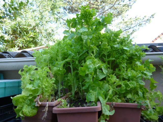 la salade qui monte